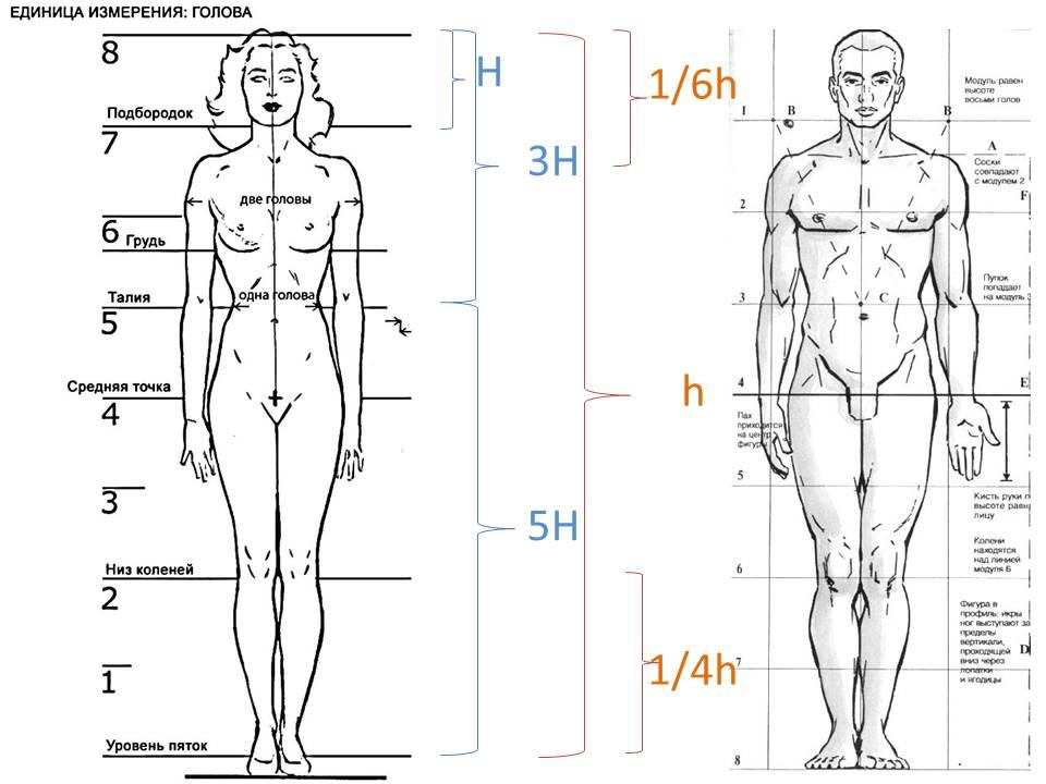 Пропорции фигуры